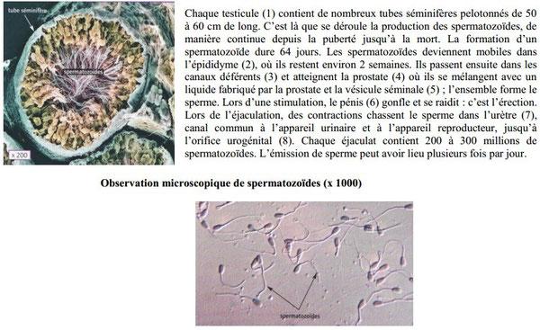 Coupe transversale d'un tube séminifère montrant des spermatozoides (à gauche) et texte explicatif à droite. Sources: Académie de la réunion.