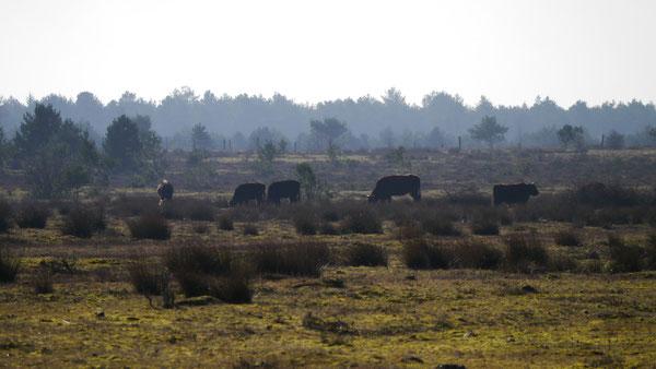 """Bild: Heckrinder werden oft als """"Auerochsen"""" bezeichnet. Sie sind aber eine Rückzichtung einer Rinderrasse."""