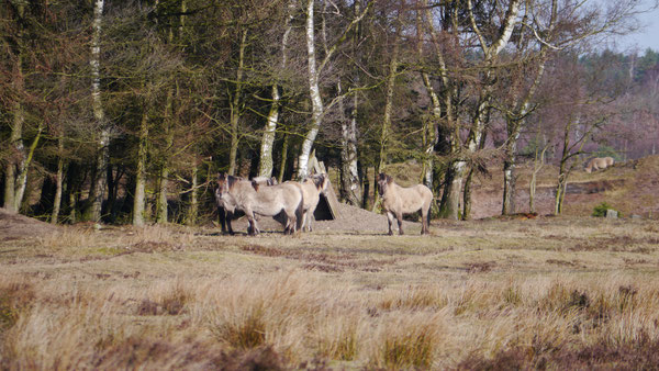 Bild: Das Konik ist eine Ponyrasse aus dem mittel- und osteuropäischen Raum. Die Ponys sind sehr robust und finden Verwendung in den Cuxhavener Küstenheiden bei der Erhaltung des Naturschutzgebietes.