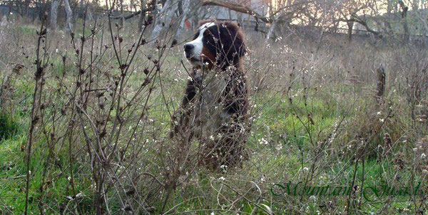 Бернский зенненхунд, щенки, продажа ,Bernese mountain dogs ,puppies ,for ,sale