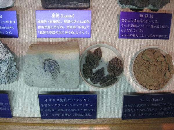 宮沢賢治記念館所蔵のバタグルミ