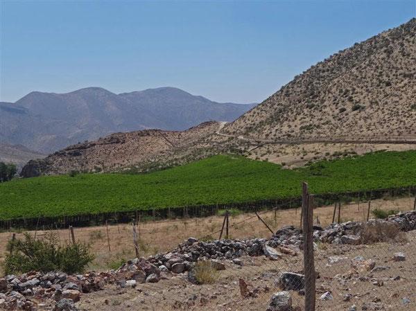 in der scheinbaren Trostlosigkeit auf einmal fruchtbare, tiefgrüne Flecken: wieder ein Weinfeld ...