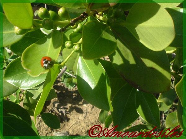 Goyavier aux fruits rouge de La Réunion avec sa jolie petite coccinnelle!