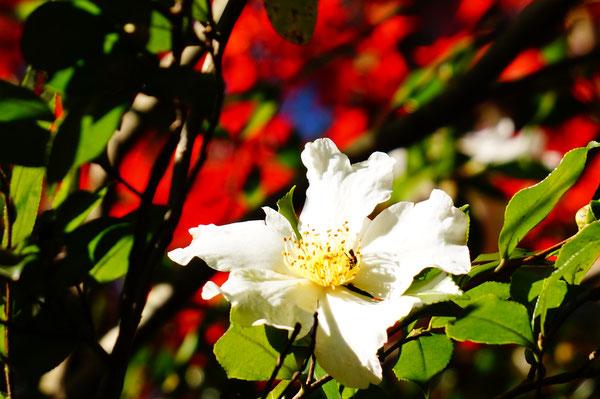 この花のうしろのモミジの木も見事に紅葉していました。