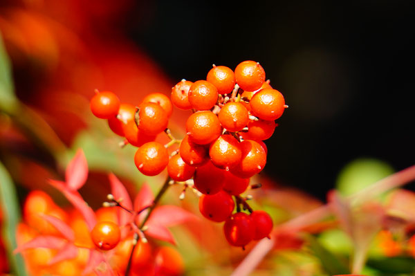 真っ赤な実も輝いていました。