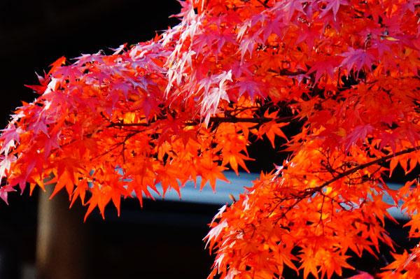 由加のお寺の桜の木の横に大きなもみじの木がありました。