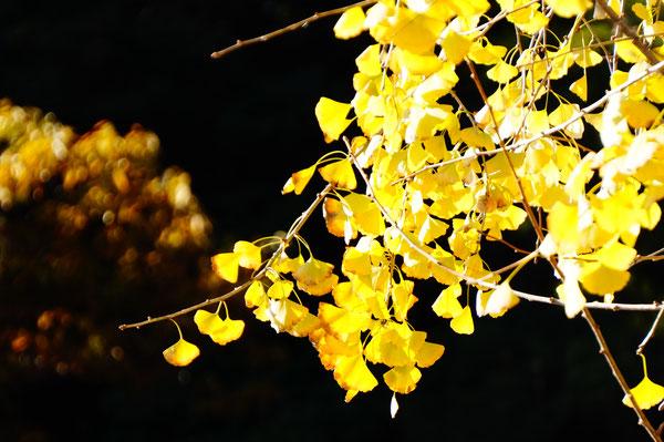 由加神社の駐車場に到着。イチョウの木がおでむかえ。