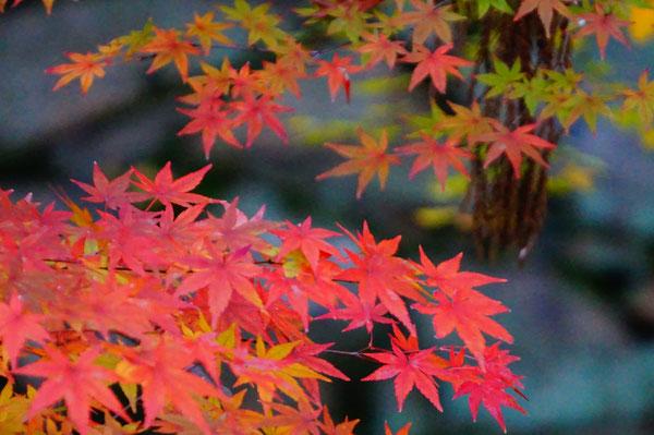 由加山の紅葉を見に、神社側から石段を上がっていきました。