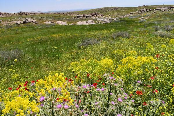 Prairie à M. punica gaisericus, Tanourdi, Moyen Atlas centro-médional, ©Frédérique Courtin-Tarrier