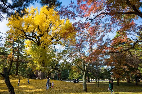京都御苑のイチョウ