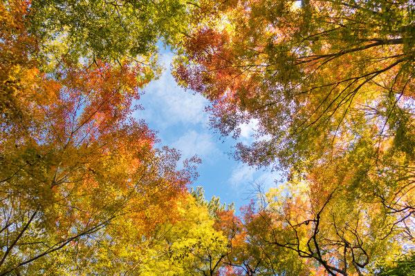 京都・北野天満宮の紅葉