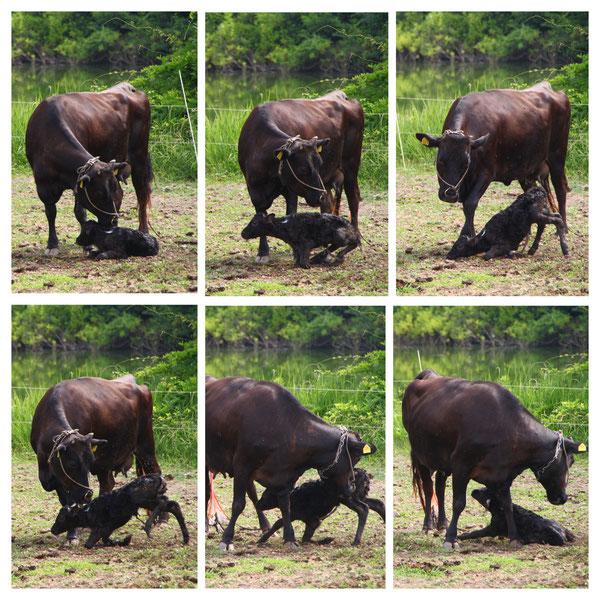 豊島 生まれたての子牛