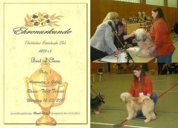 Goldie auf ihrer ersten Ausstellung im März 2012 in Kempenich: Junghundklasse SG1, Ehrenring 1. Platz
