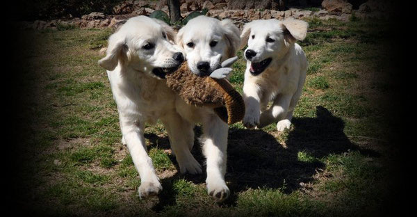 Cachorros de Golden Retriever Heraldo de Gaia