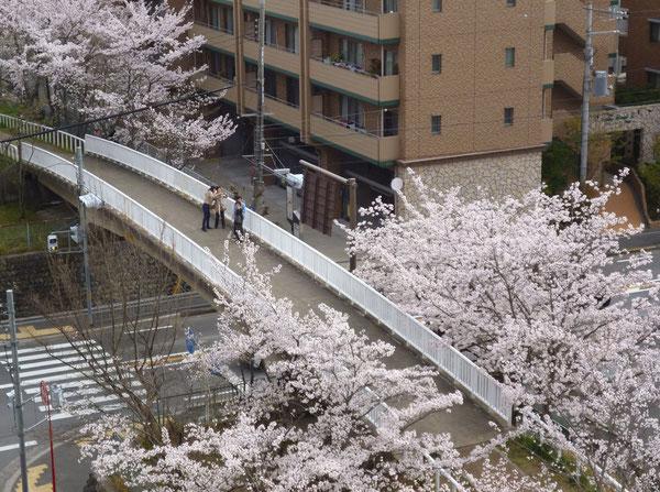 桜の橋の上で、おしゃべりを楽しむ
