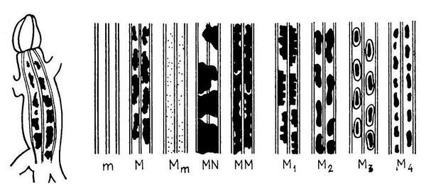 Фены рисунка спины по Пикулику (1988), темные пятна