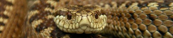 Herpsafari.nl - Homepage von Bobby Bok über die Reptilien & Amphibien Europas mit interessanten Reiseberichten