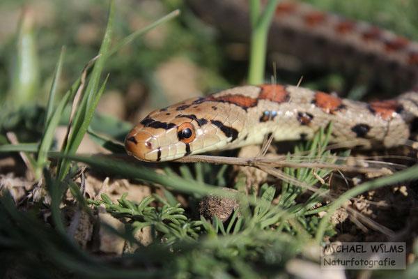 Leopardnatter Kroatien Pag Dalmatien Schlange