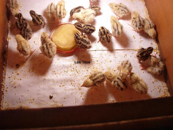 Crias de codorniz gigante (Las más claras) y de codorniz común de 2 días de vida