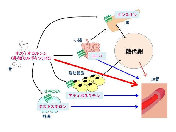 骨から分泌されるオステオカルシンと糖代謝、動脈硬化との関連性のシェーマ
