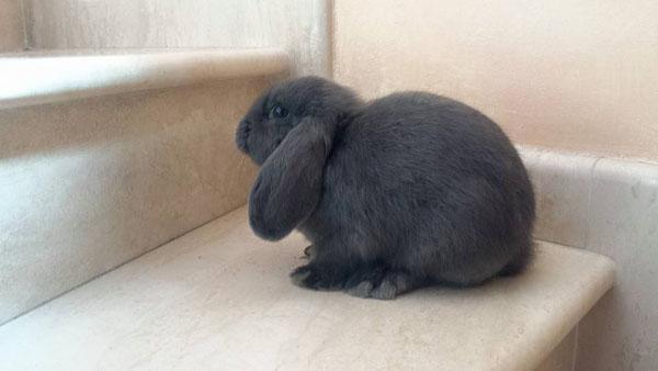 Coniglio nano ariete Molly Roma mini lop coniglietti da compagnia