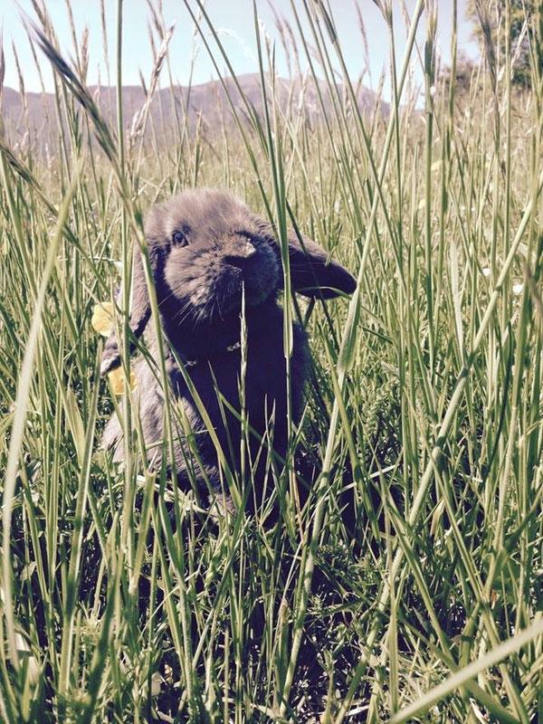 Coniglio nano ariete Pallino blu trento mini lop coniglietti da compagnia