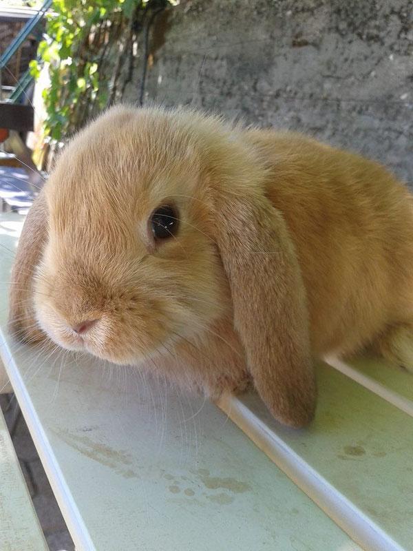 Coniglio nano ariete Fulvo Merano mini lop coniglietti da compagnia