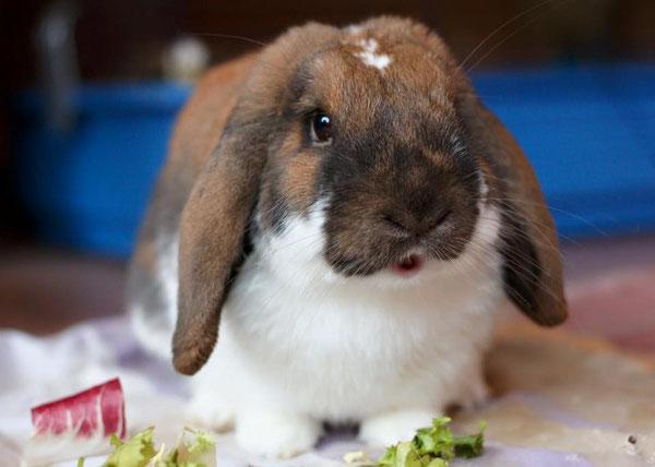 Coniglio nano ariete madagascar pezzato Milano  Pordenone mini lop coniglietti da compagnia