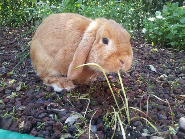 Coniglio nano ariete Otto Bari Fulvo  mini lop coniglietti da compagnia