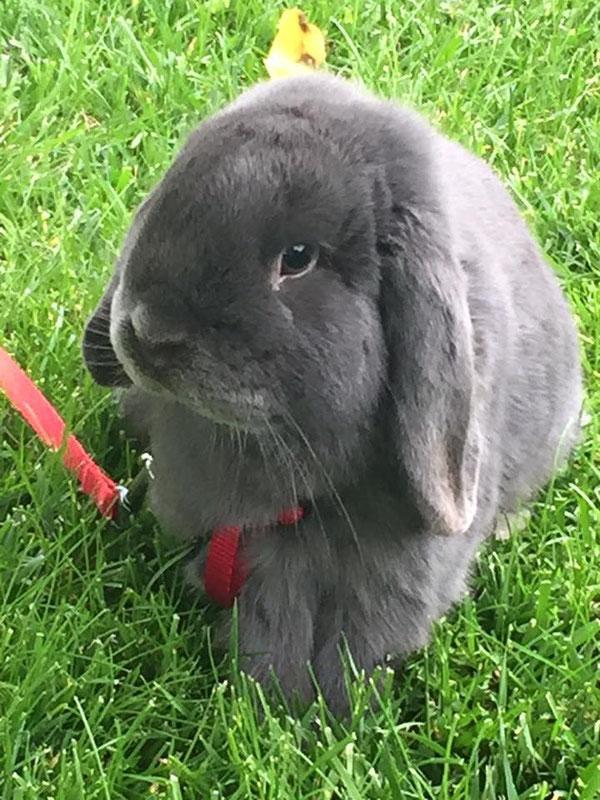 Coniglio nano ariete  blu Canzano mini lop coniglietti da compagnia