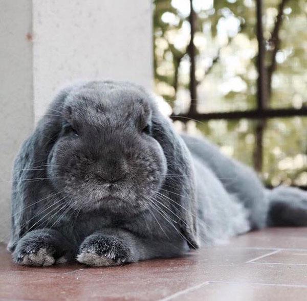 Coniglio nano ariete giarra blu Piacenza mini lop coniglietti da compagnia
