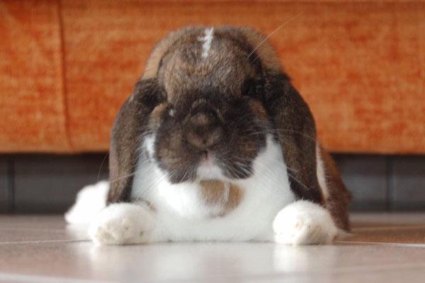Coniglio nano ariete Madagascr Pezzato Novara Torino mini lop coniglietti da compagnia