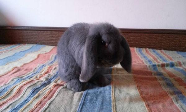 Coniglio nano ariete blu Roma mini lop coniglietti da compagnia