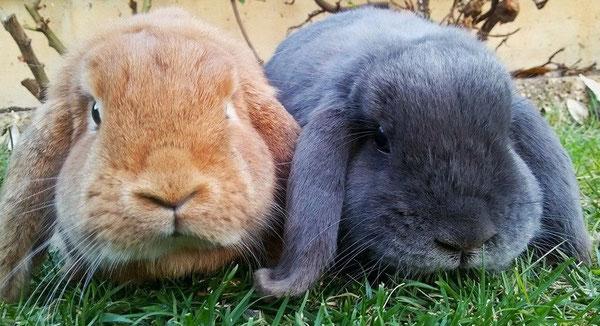 Coniglio nano ariete giarra bianca blu  fulvo Verona Pordenone mini lop coniglietti da compagnia