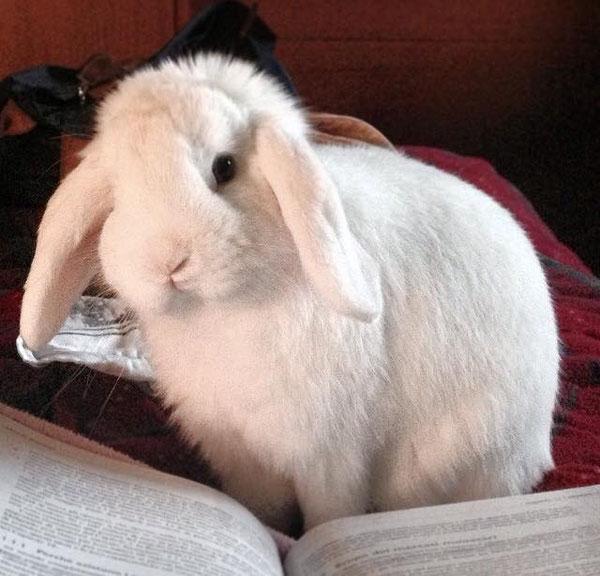 Coniglio nano ariete bainco occhi blu Piacenza mini lop coniglietti da compagnia