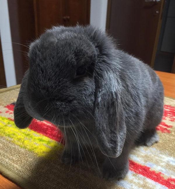 Coniglio nano ariete blu Peschiera del Garda mini lop coniglietti da compagnia