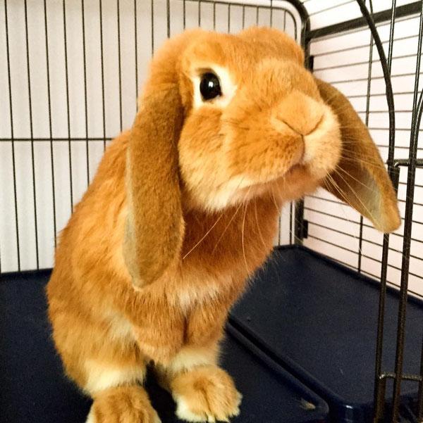 Coniglio nano ariete fulvo torino mini lop coniglietti da compagnia