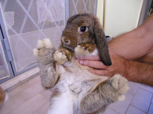 Coniglio nano ariete Leprotto Ardea  mini lop coniglietti da compagnia