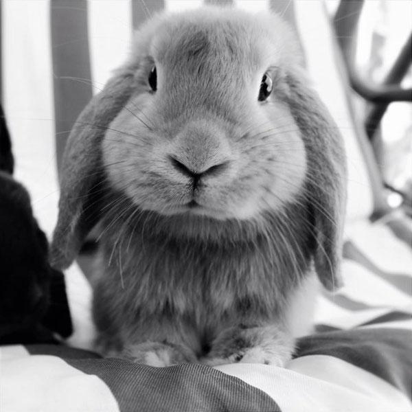 Coniglio nano ariete Hippie Fulvo Roma mini lop coniglietti da compagnia
