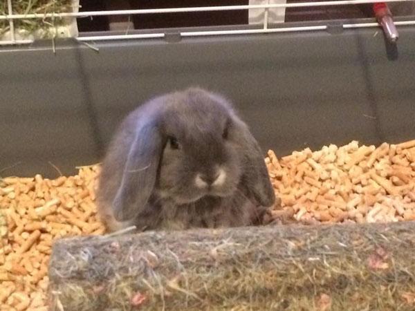 Conigli nani arite pura razza Casa Fabri  fulvo blu bianco giarra nero siamese