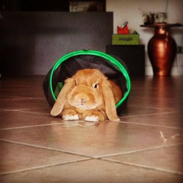 Coniglio nano ariete Fulvo Velletri ROma mini lop coniglietti da compagnia