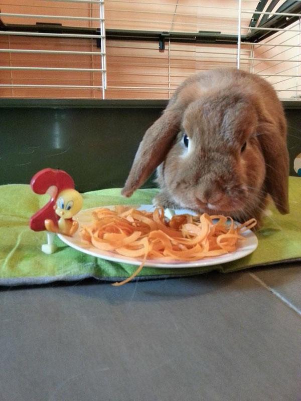 Coniglio nano ariete Fulvo Bologna mini lop coniglietti da compagnia
