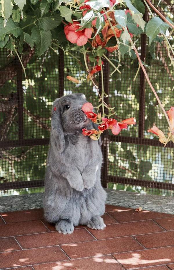 Coniglio nano ariete  blu Pavia mini lop coniglietti da compagnia