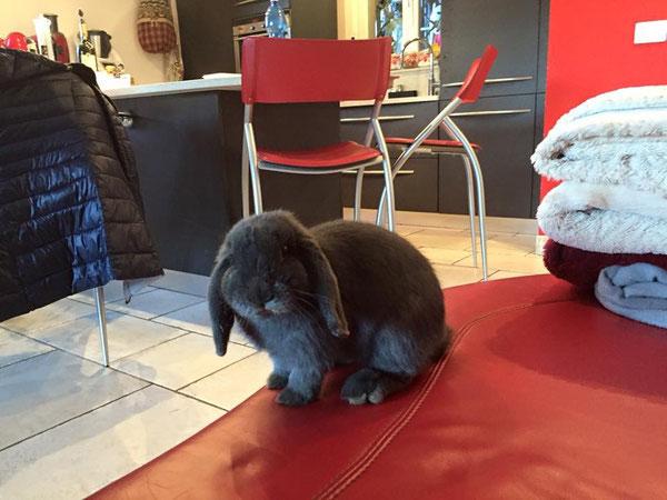 Coniglio nano ariete blu Svizzera mini lop coniglietti da compagnia