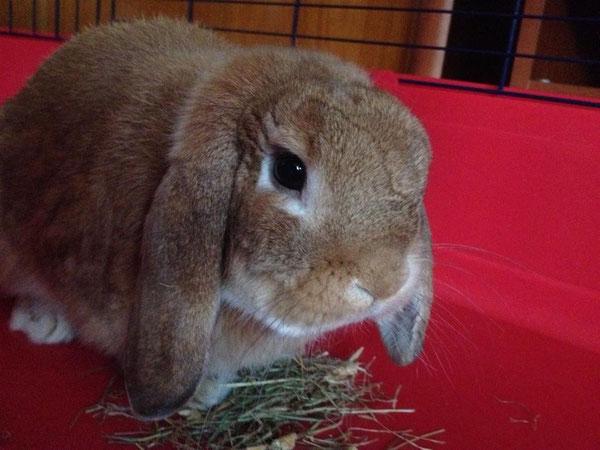 Coniglio nano ariete Fulvo Tropeamini lop coniglietti da compagnia