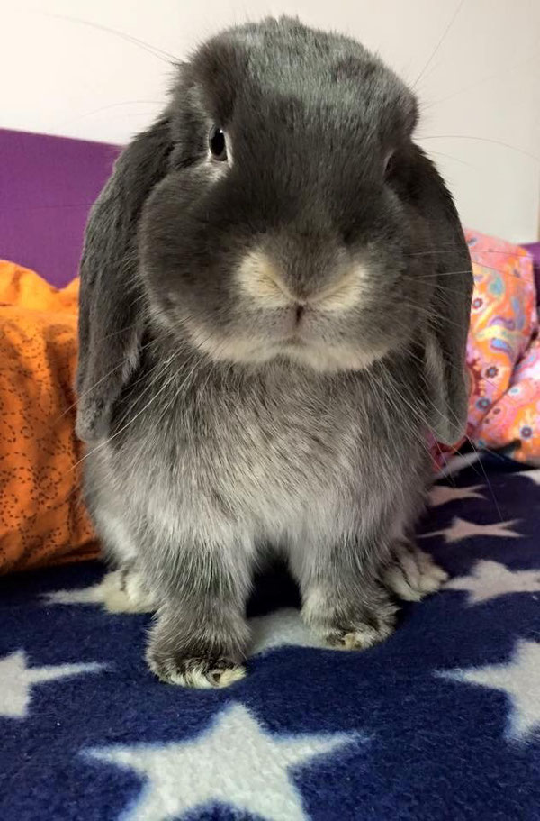 Coniglio nano ariete giarra bianca blu Varese mini lop coniglietti da compagnia