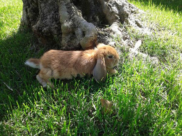 Coniglio nano ariete Fulvo Latina Roma mini lop coniglietti da compagnia