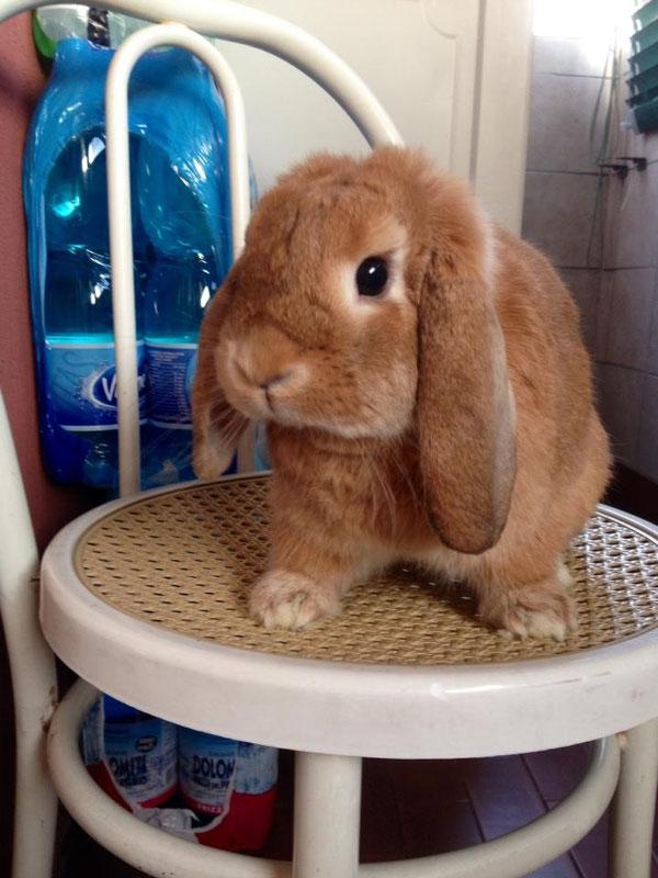 Coniglio nano ariete Fulvo Roma mini lop coniglietti da compagnia