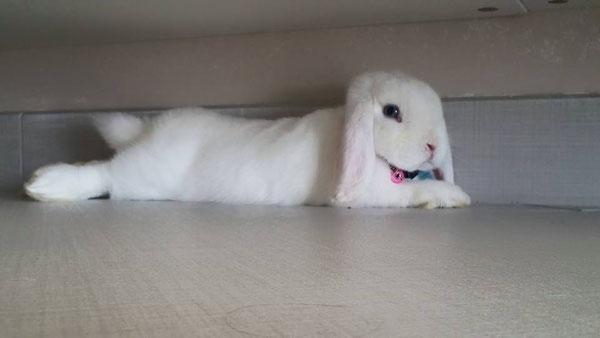 Coniglio nano Bianco occhi bu Sottomarina Venezia mini lop coniglietti da compagnia
