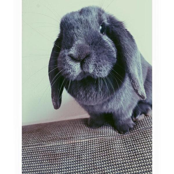 Coniglio nano ariete Blu Principessa mini lop coniglietti da compagnia